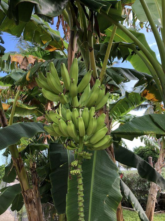 We Have A Bannana Tree